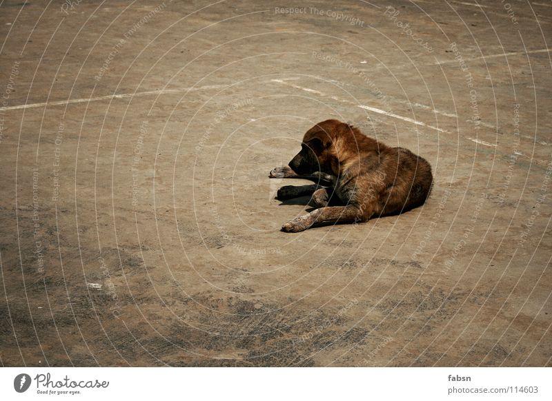 LAY THE DOG Hund Mischling Tier Platz Gefühle Asien Säugetier straßenhund promenadenmischung befallen court