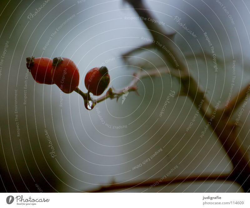 Dornen und Tränen 3 Sträucher trist November kalt Herbst Winter dunkel schrumplig Falte Umwelt Pflanze Wachstum gedeihen Heilpflanzen Farbe Zweig Wassertropfen