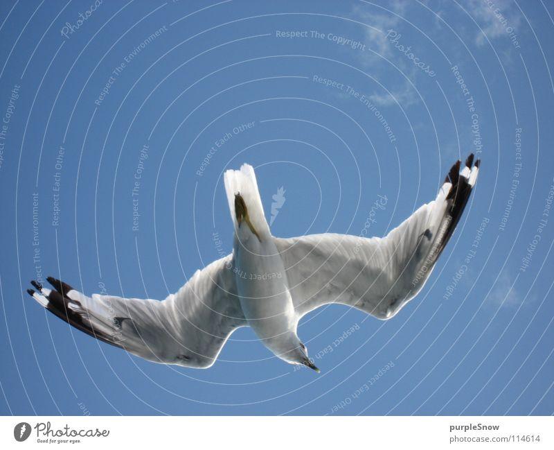 Möwenbauch Wolken Vogel Tier schön weich Kanada Nordamerika Leichtigkeit Sommer Außenaufnahme Freude Himmel unendlich weit blau Farbe fliegen Flügel Feder sanft
