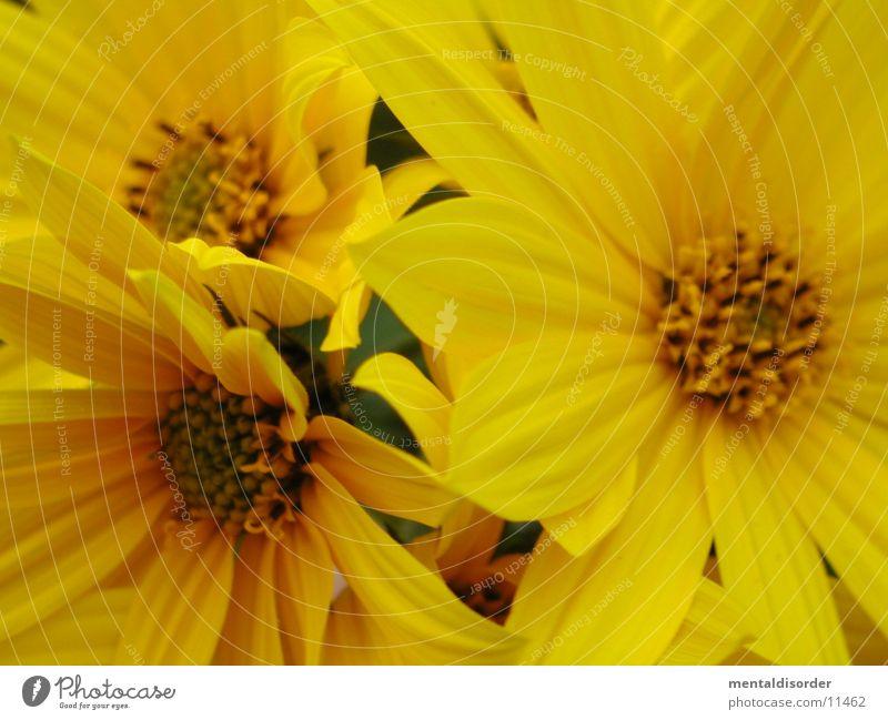 flotter Dreier Blume Pflanze Blatt gelb Blüte Pollen