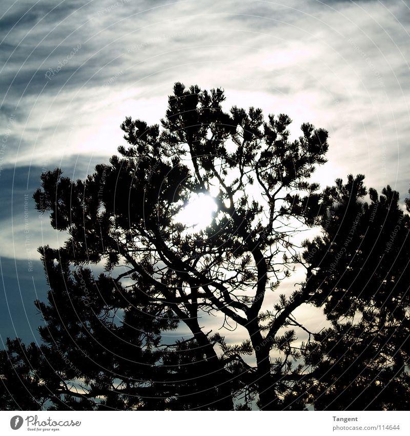 Versteckspiel Baum Nadelbaum Wolken Schleier Sonnenuntergang Himmel Himmelskörper & Weltall Ast Schatten Silhouette Tannennadel