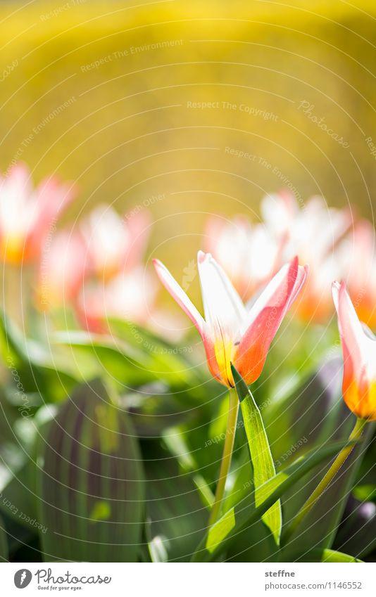 Frühling V Blume Blühend Blüte Tulpe Leben Schönes Wetter Sonnenlicht Ostern