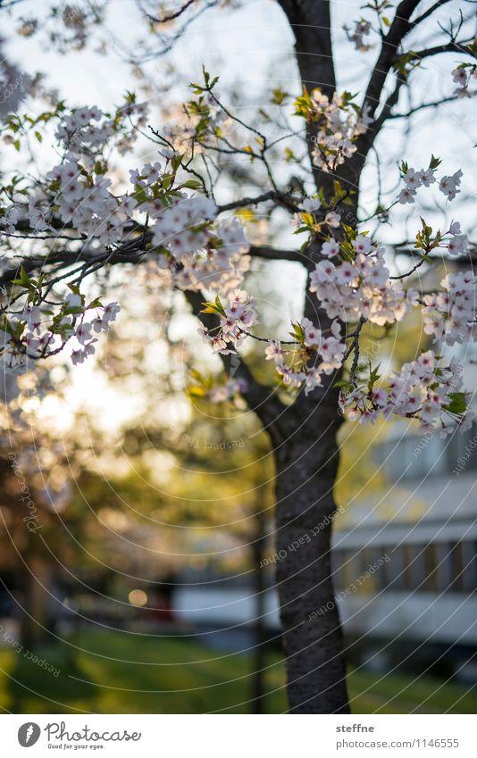Frühling II Baum Blühend Blüte Zierkirsche Kirschblüten Leben Schönes Wetter Sonnenlicht Göttingen