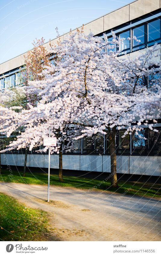 Frühling III Leben Schönes Wetter Baum Blüte Blühend Zierkirsche Kirschblüten Göttingen Sonnenlicht