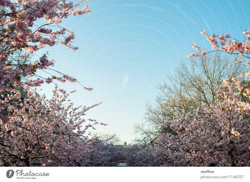 Frühling IV Baum Blühend Blüte Zierkirsche Kirschblüten Leben Schönes Wetter Sonnenlicht Göttingen