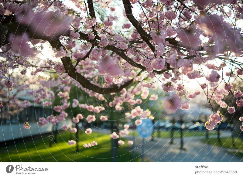 Frühling I Baum Blühend Blüte Zierkirsche Kirschblüten Leben Schönes Wetter Sonnenlicht Göttingen