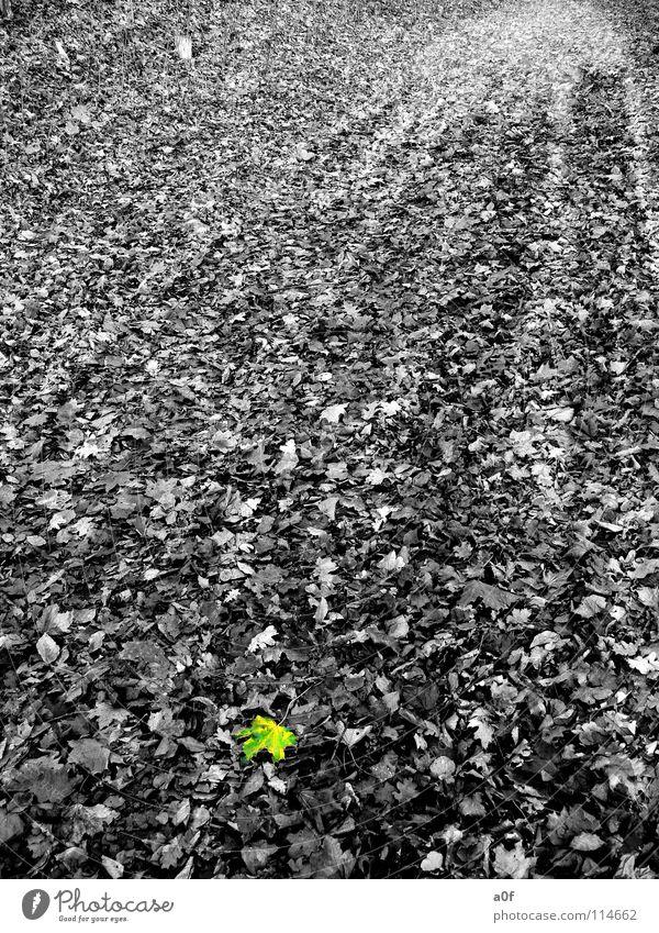 only one Herbst Blatt Schwarzweißfoto Kontrast Farbe trist gewallt