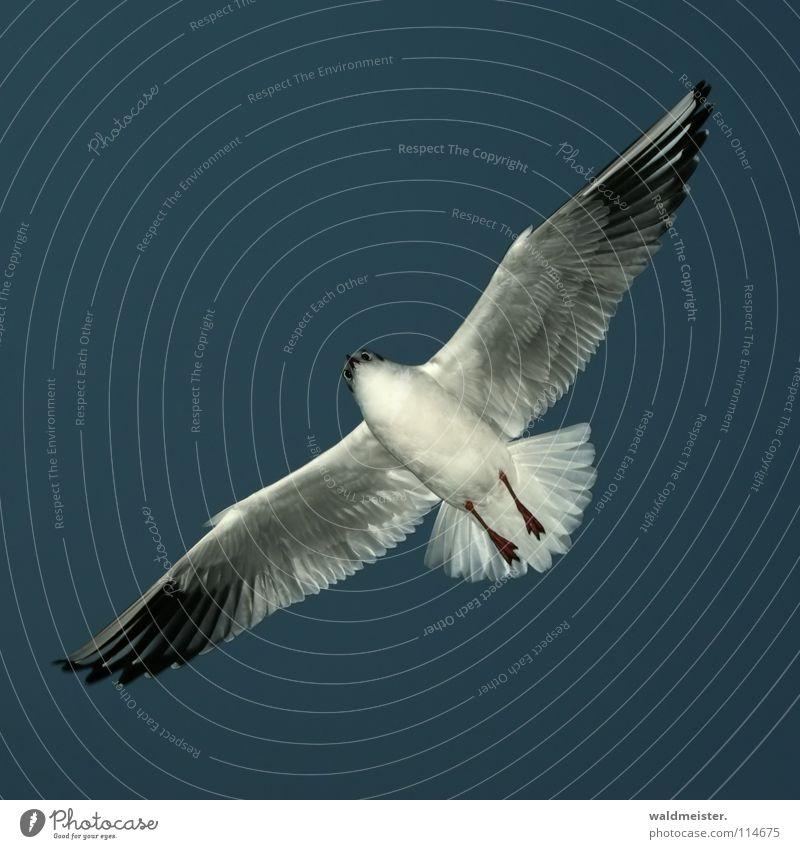 Gleitflug Möwe Lachmöwe Abend Vogel Meer Strand Möve Himmel Luftverkehr fliegen Flügel Feder