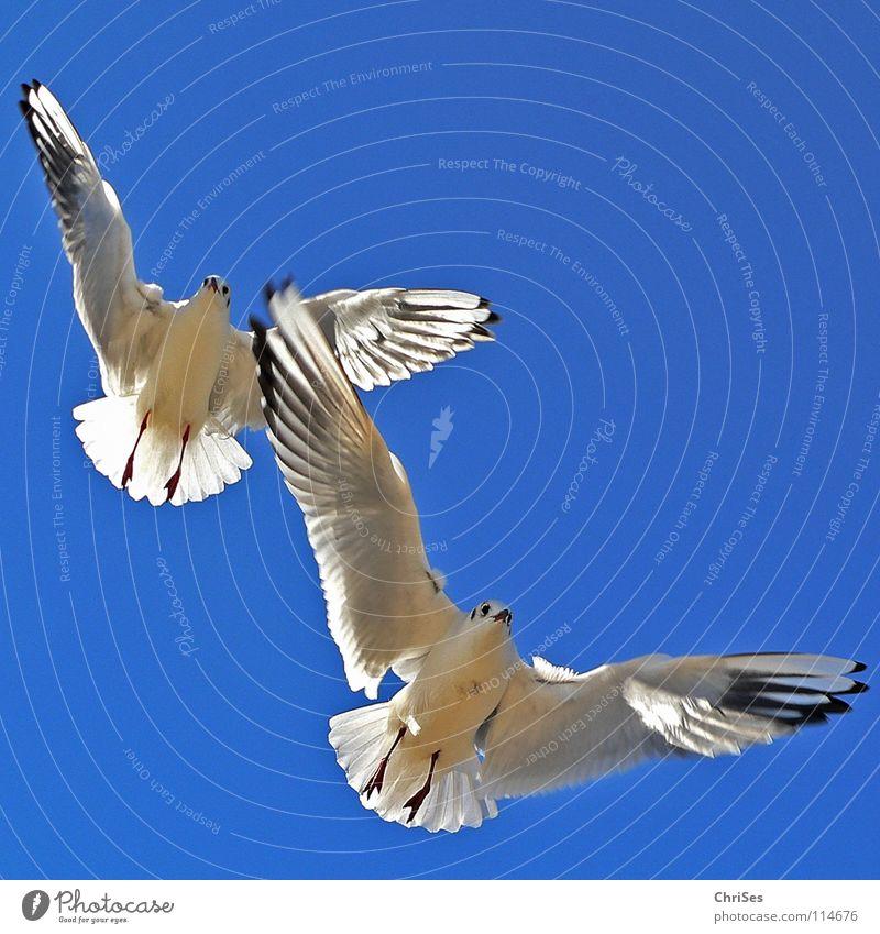 Doppeldecker : Silberkopfmöwe ( Larus novaehollandia ) Möwe Vogel Tier weiß grau schwarz Wolken himmelblau fliegen Federvieh See Meer Kondensstreifen Cuxhaven