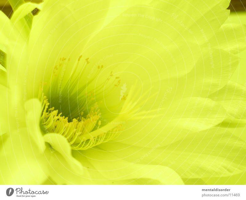 Kaktusblüte *6 Blatt gelb Pollen