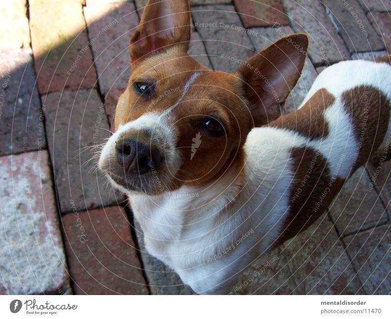 was guckst du? weiß Hund klein braun Nase Ohr