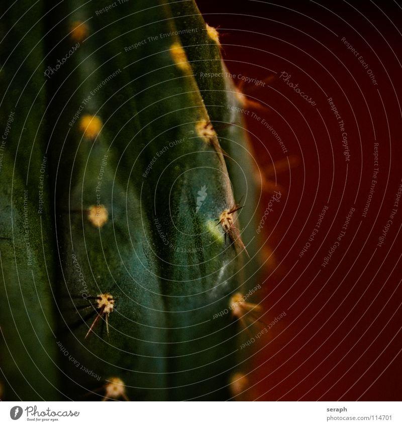 Kaktus stechen Pflanze Zimmerpflanze Topfpflanze Dorn abstrakt Hintergrundbild Schmerz Defensive Sukkulenten Makroaufnahme Nahaufnahme stachelig Stachel grün