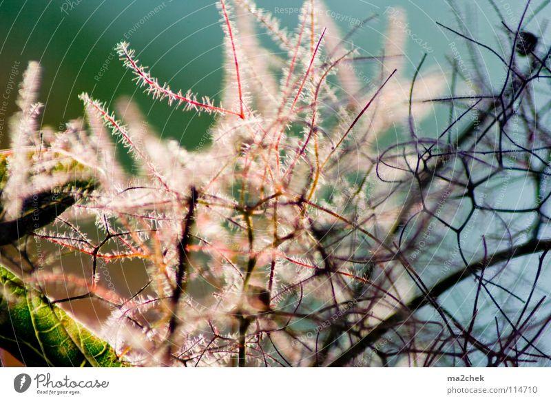 Gartenstrauch Pflanze Garten Park Sträucher Ast Botanik Gefäße Geäst