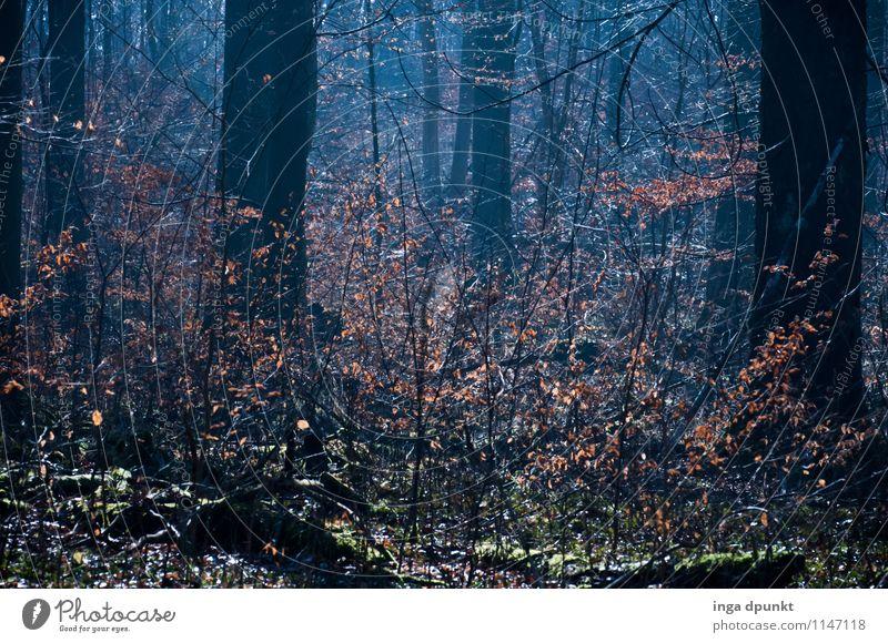 Buchennachwuchs Umwelt Natur Landschaft Pflanze Winter Wetter Schönes Wetter Baum Blüte Wildpflanze Wald Wachstum natürlich Erholung Blatt Laubbaum Unterholz