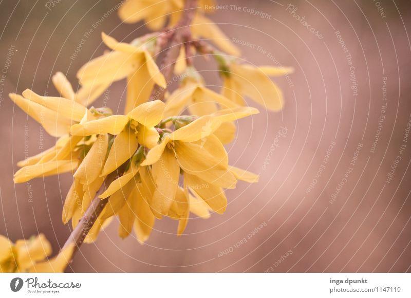 Forsythie Umwelt Natur Landschaft Pflanze Frühling Baum Sträucher Blüte Wildpflanze Forsythienblüte Forsithie Garten Park schön gelb Zweig Zweige u. Äste sanft
