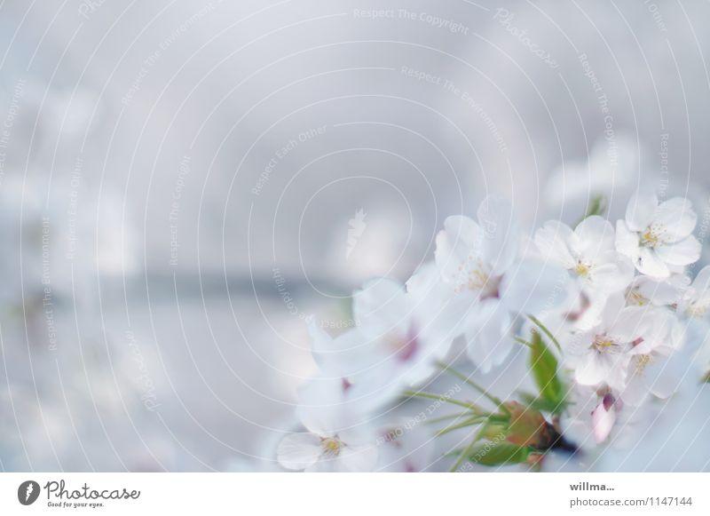 Blütentraum im Frühling Blühend Zierkirsche Kirschblüten Zweig träumen ästhetisch schön weiß zart Pastellton Frühlingsfarbe Frühlingsgefühle Leichtigkeit hell