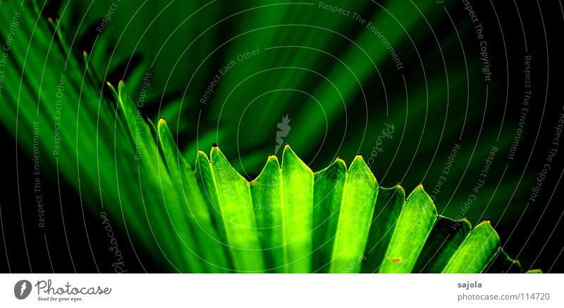 strukturblatt Baum grün Pflanze Blatt elegant ästhetisch Asien Spitze Dynamik Palme diagonal exotisch Verlauf Schwung eckig Grünpflanze