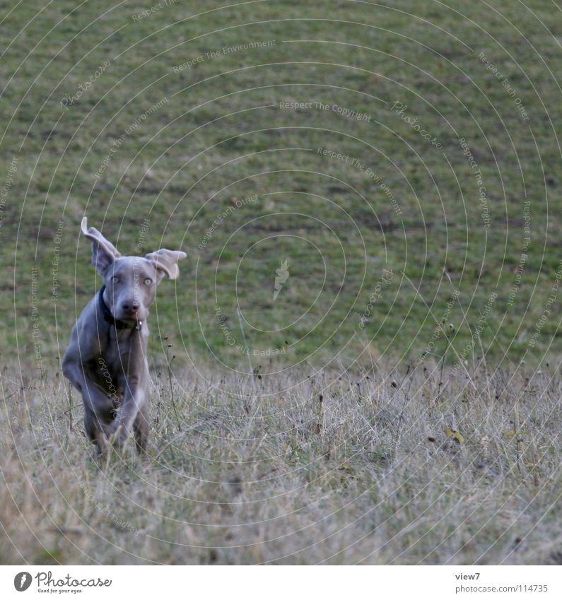 rennend. Hund Welpe springen Wiese Schnauze Weimaraner Winter Säugetier Freude laufen Dynamik Außenaufnahme Gassi gehen Textfreiraum oben Textfreiraum rechts
