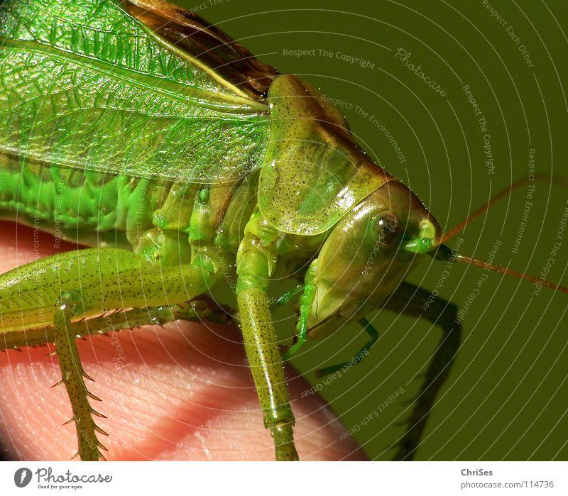Grünes Heupferd 02 (Tettigonia viridissima) grün Sommer Tier springen Gras Beine Insekt Lebewesen Fühler hüpfen Heuschrecke Nordwalde Heimchen