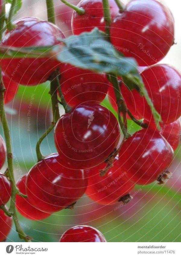 rote Traubenpracht grün Blatt rund Johannisbeeren