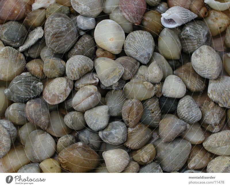 Meeresbewohner alt Stein Muschel fossil