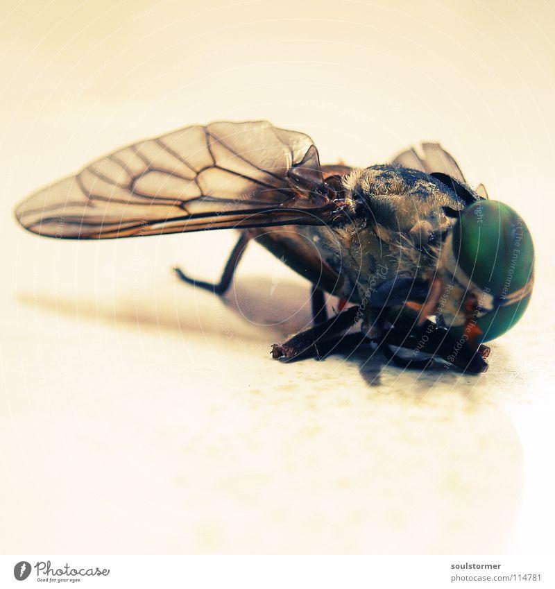 wieder was gestorbenes - diesmal ohne Katzi :) weiß grün Auge gelb Leben Tod Beine Fliege Ende Vergänglichkeit Flügel Insekt Quadrat Ekel Tiefenschärfe Hölle