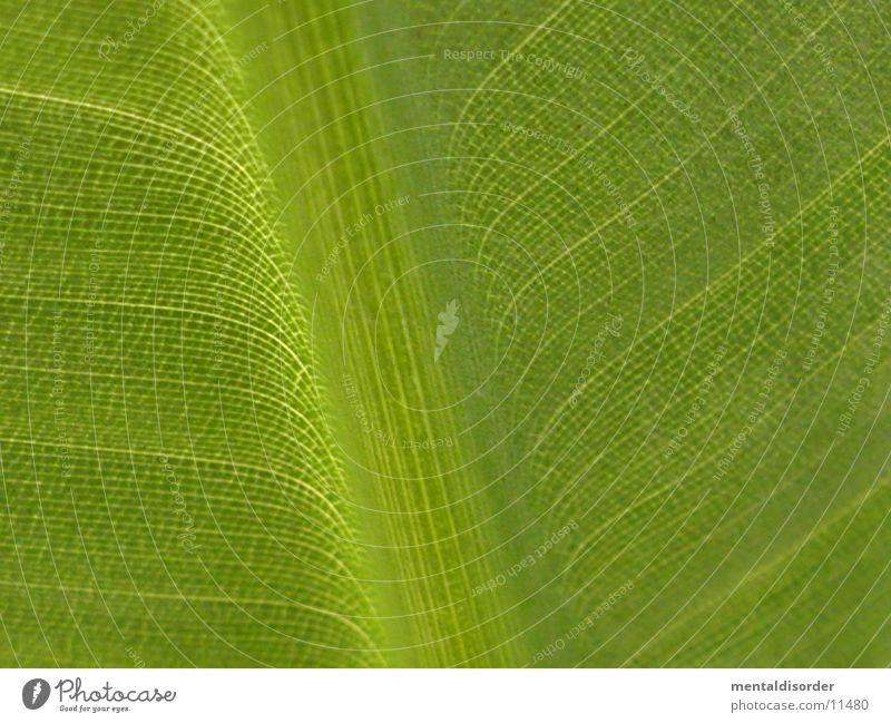 Zeichen der Natur grün Blatt Linie Blattadern Lichtschein Bananenstaude