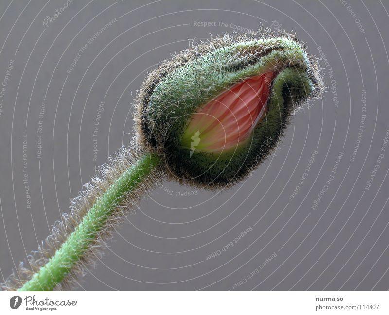Blumenpo schön Pflanze Blume Farbe Haare & Frisuren grau fliegen frei Wachstum Kommunizieren Suche Stoff Hinterteil Blühend machen Blütenknospen