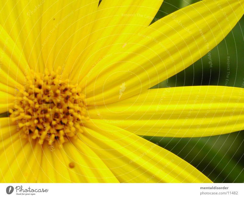 yellow Blume grün Blatt gelb Blüte
