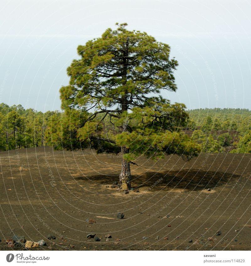 Baum in karger Landschaft Berge u. Gebirge wandern Natur Wald Vulkan Stein Holz trist trocken braun grün Einsamkeit Teneriffa Lava Teide steinig Baumstamm