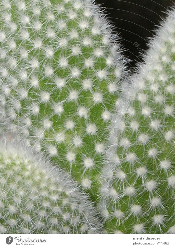 stachelig weiß grün Kaktus