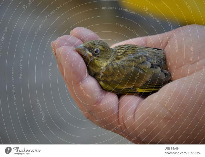 Kleiner Nestflüchter. Hand Finger 1 Mensch Frühling Schönes Wetter Stadtzentrum Café Terrasse Tier Vogel Tiergesicht Flügel Grünfink Tierjunges genießen