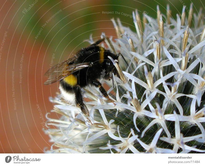 Honigsammler *7 Pflanze schwarz gelb Blüte Flügel Biene rechnen
