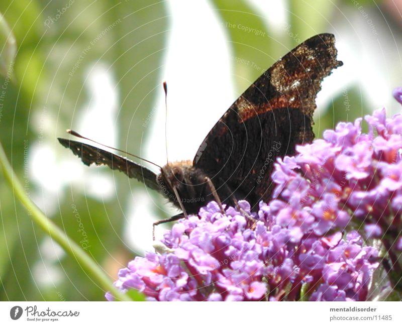 Schmetterling *4 Blume rot schwarz Flügel Schmetterling