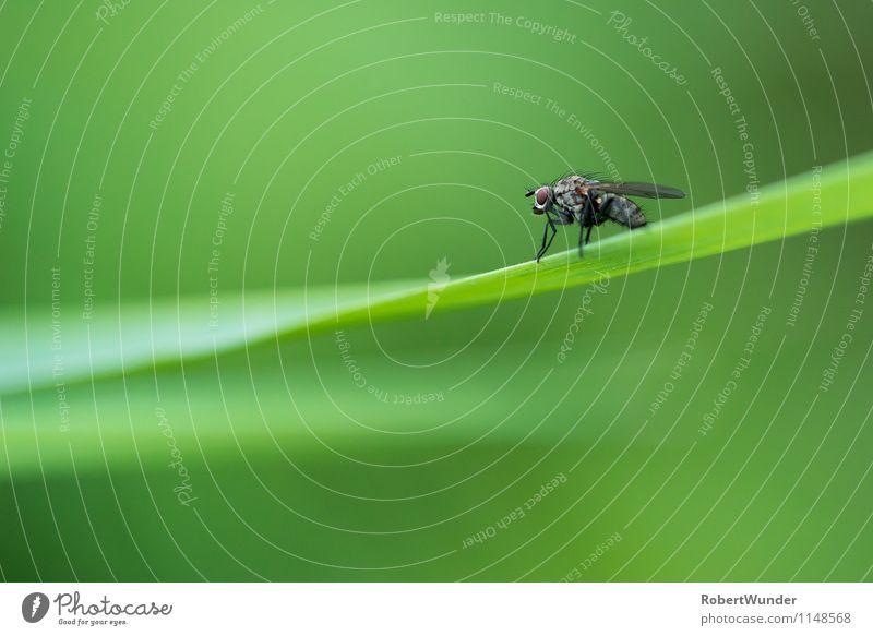 Fliege Natur Pflanze grün Tier schwarz Wiese frei