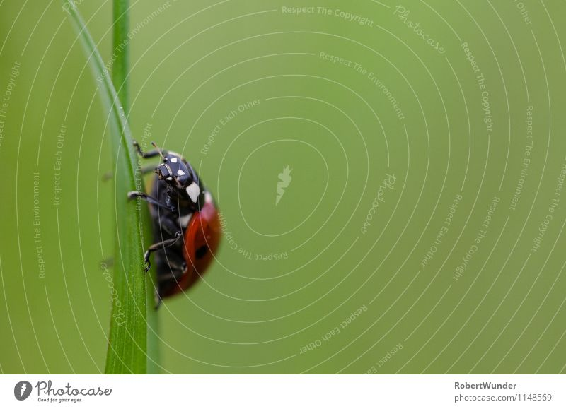 Marienkäfer Natur grün weiß rot Tier schwarz Wiese frei frech Käfer