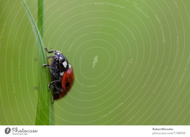 Marienkäfer Natur Wiese Tier Käfer 1 frech frei grün rot schwarz weiß Makroaufnahme Farbfoto Nahaufnahme Morgen Licht Schwache Tiefenschärfe Tierporträt