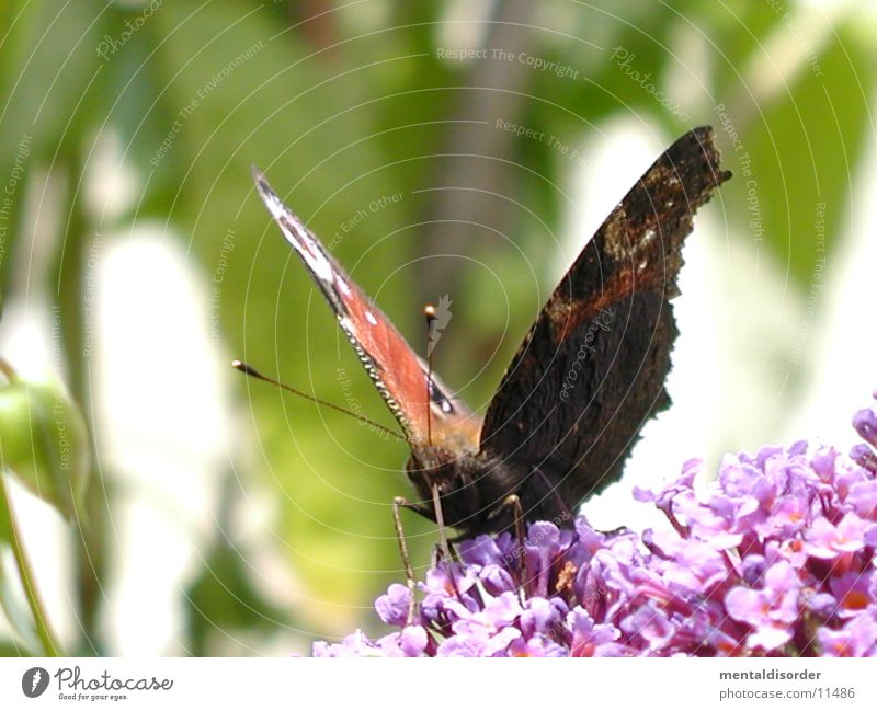 Schmetterling *5 Blume rot schwarz Flügel