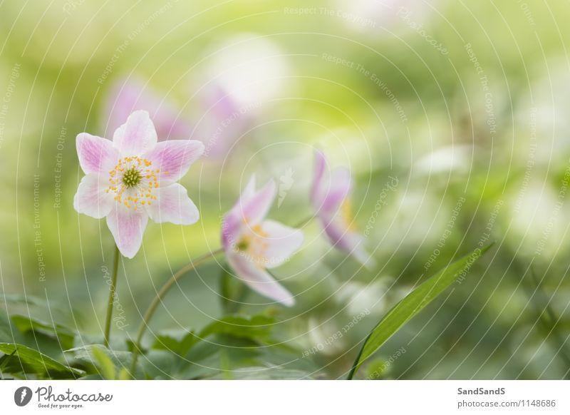 Anemonen Natur Pflanze Blume Blatt Blüte Wildpflanze Wald Stimmung Frühlingsgefühle Farbfoto mehrfarbig Außenaufnahme Nahaufnahme Menschenleer Morgen Licht