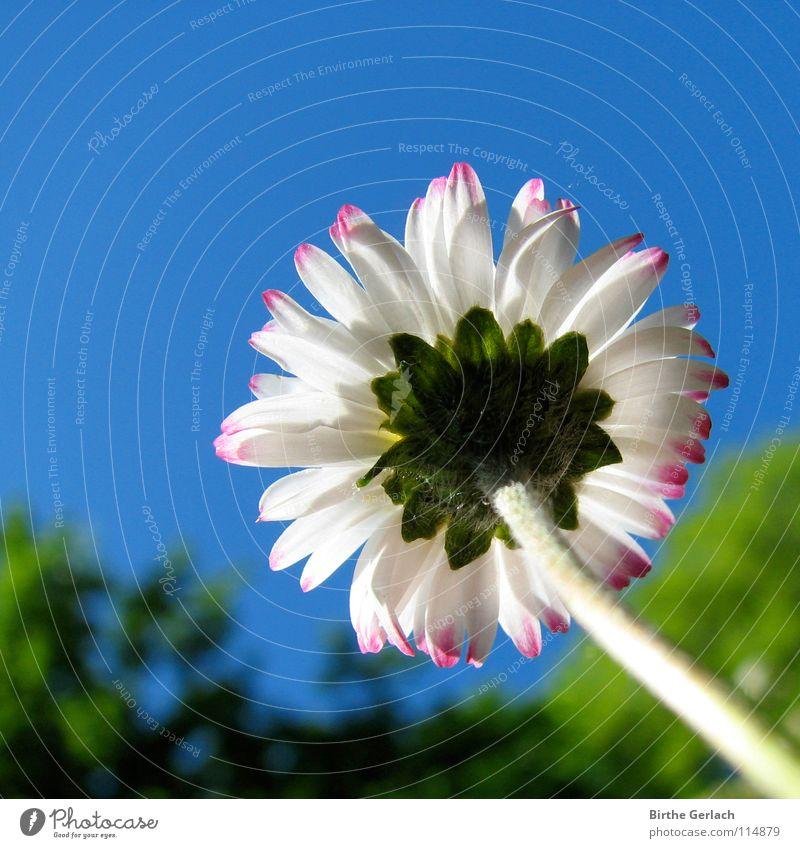 Sie will so gerne hoch hinaus! Himmel Blume blau Sommer Frühling träumen Beleuchtung Ziel Blühend Gänseblümchen zielstrebig ehrgeizig
