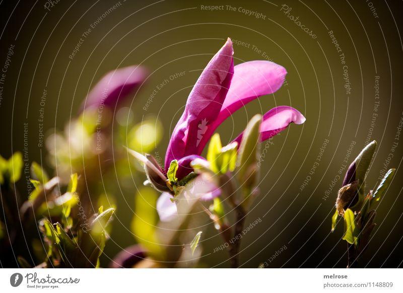 Magnolie Natur schön grün Erholung Blatt Blüte Frühling Stil Glück Freiheit Garten rosa glänzend Zufriedenheit leuchten Wachstum