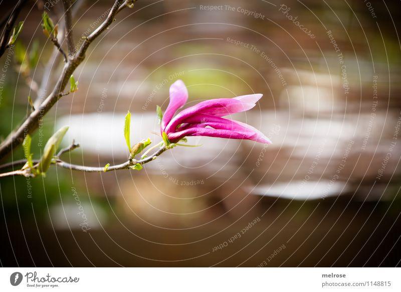 einsame Magnolie elegant Stil Natur Pflanze Frühling Schönes Wetter Sträucher Blatt Blüte Magnoliengewächse Magnolienstrauch Magnolienblüte Garten Blühend Duft