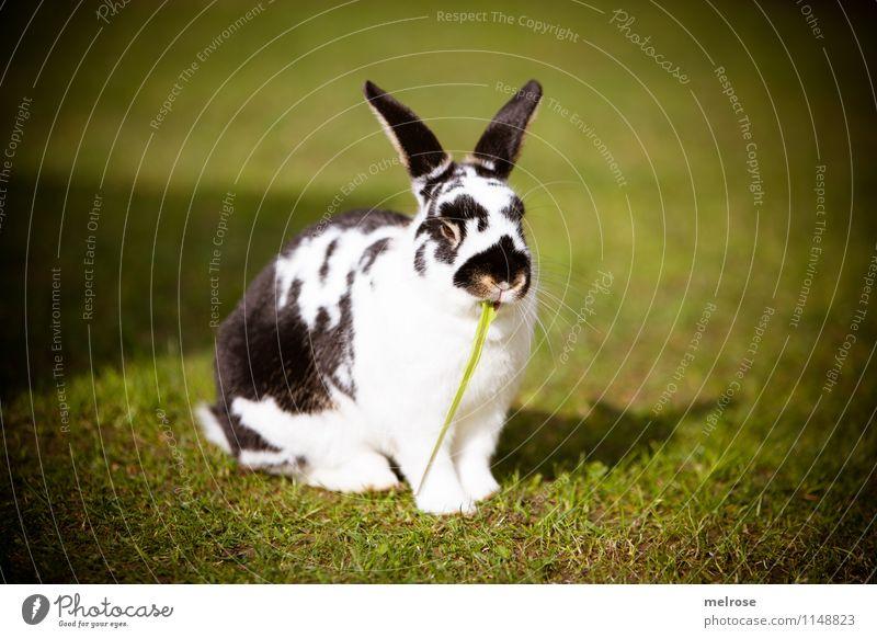 kreative Pause elegant Frühling Schönes Wetter Garten Haustier Tiergesicht Fell Pfote Zwergkaninchen Säugetier Hasenohren Hase & Kaninchen 1 Löffel Erholung