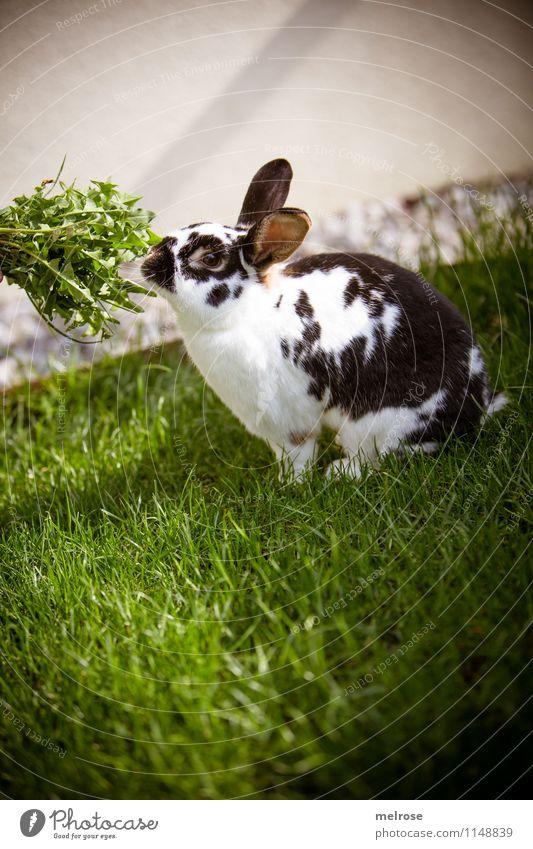 Hasi und grün schön weiß Erholung schwarz Frühling Stil Gesundheit Freiheit Garten sitzen genießen niedlich Schönes Wetter Pause Neugier