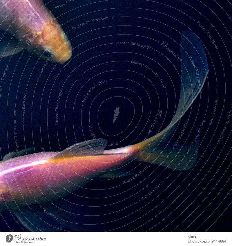 Wasserspielchen dunkel kalt Bewegung elegant nass Tierpaar Schwimmen & Baden Fisch Urelemente tauchen vorwärts Flüssigkeit Kurve Zusammenhalt Teich