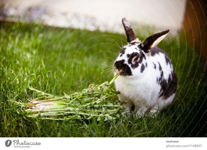 gesunder Snack schön grün weiß Erholung ruhig Tier schwarz natürlich Freiheit sitzen genießen niedlich Pause Gelassenheit Fell Sonnenbad