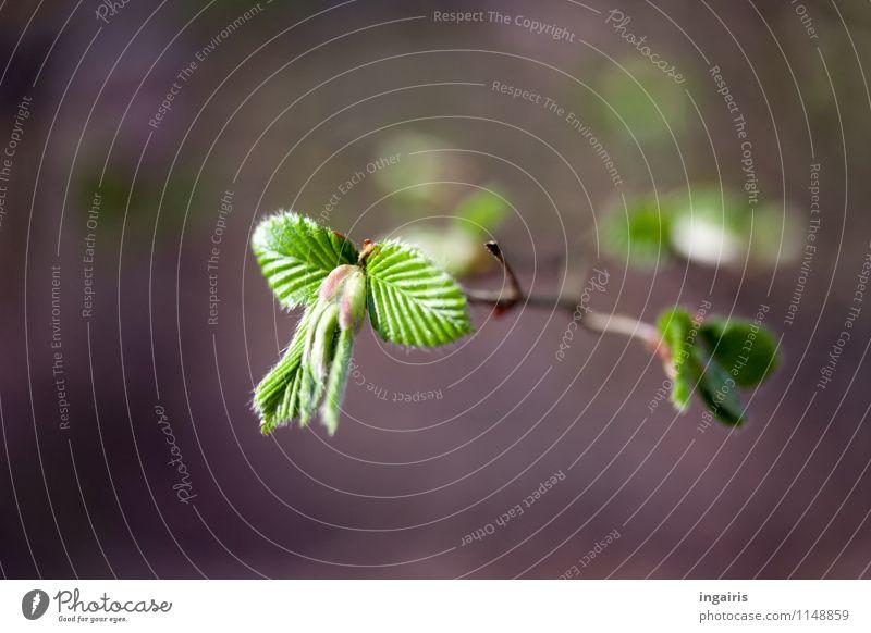Es sprießt ! Natur Pflanze grün weiß Baum Blatt Leben Frühling natürlich grau Stimmung Wachstum frisch leuchten ästhetisch Ast