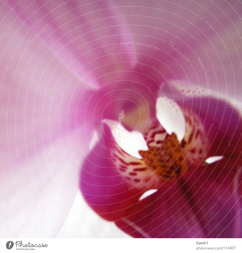 Noch nicht verwelkt! Natur rot Pflanze Sommer Blume Blüte rosa Wildtier Romantik Lippen Punkt Freundlichkeit Urwald exotisch Stempel Orchidee