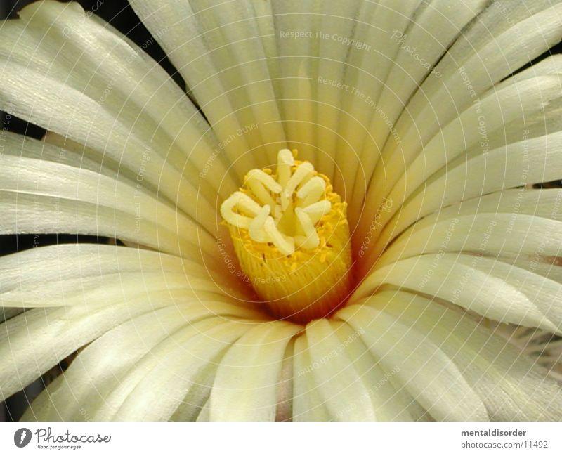 ganz nah ran *1 weiß gelb Blüte Pollen Kaktus Sukkulenten