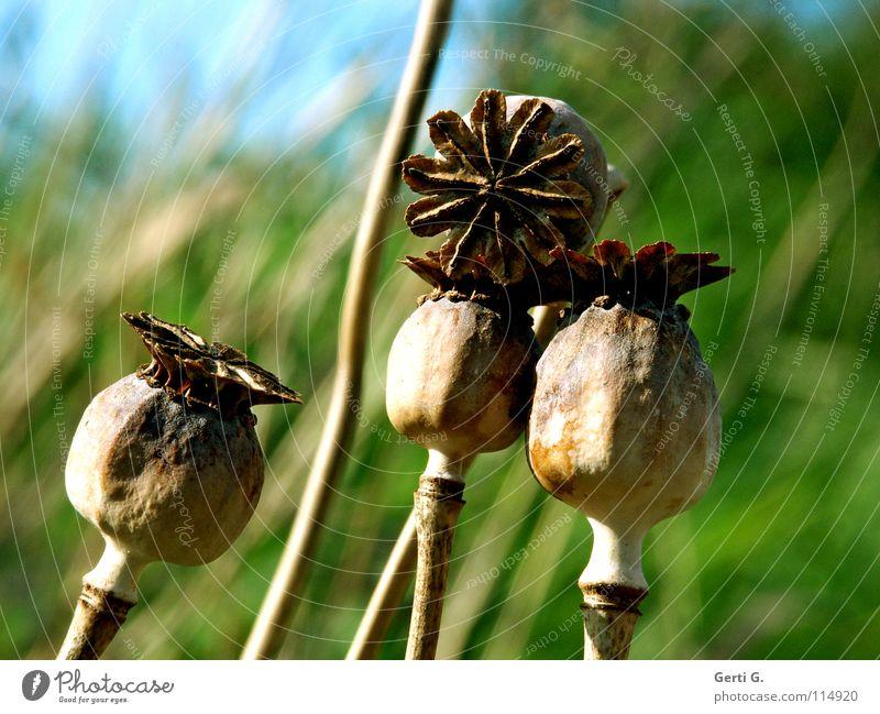zu4t Blume Blüte grün harmonisch Klatschmohn Mohn Mohnkapsel Pflanze türkis Tiefenschärfe rund blau-grün grün-blau stehen vertikal trocken Wind Samen behüten